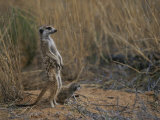 Using its Tail, an Adult Meerkat (Suricata Suricatta) Stands Alert Photographic Print by Mattias Klum