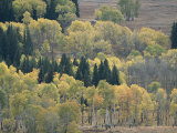 A Stand of Aspen and Evergreen Trees Photographic Print by Tom Murphy