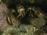 An American Lobster in an Aggressive Stance Photographic Print by Bill Curtsinger