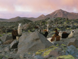 Llamas at Rest in a Rocky Landscape under a Pink Twilit Haze Photographic Print by Joel Sartore