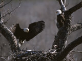 A Pair of American Bald Eagles at Their Nest Photographic Print by Roy Toft