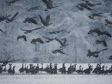 Canada Geese Gather in a Snowy Field in Tennessee Photographie par Karen Kasmauski
