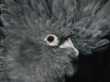 The Ruffled Feathers on the Head of a Red-Tailed Black Cockatoo Photographic Print by Jason Edwards