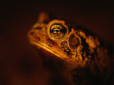 A Houston Toad, an Endangered Species Photographic Print by Joel Sartore