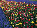 A Row of Red and Yellow Tulips Flanked by Rows of Blue Flowers Photographic Print by Sisse Brimberg