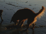 A Dog Digs in the Beach Sand in the Afternoon Sunlight Photographic Print by Stacy Gold