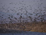 A Huge Flock of Ducks Takes off from a Pond Photographic Print by Bates Littlehales