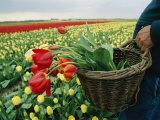 Yellow Tulip Field Photographic Print by Sisse Brimberg