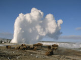 A Group of American Bison Rest Near the Old Faithful Geyser Photographic Print by Tom Murphy