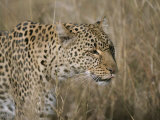 Close View of a Leopard in Dry Grass Photographic Print by Roy Toft