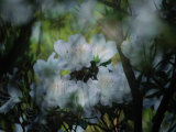 Close-up of a Flowering Azalea Bush Photographic Print by Maria Stenzel