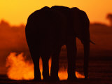African Elephant Silhouetted at Twilight Photographic Print by Beverly Joubert
