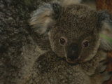 A Juvenile Koala Clings to its Mother in Eastern Australia Photographic Print by Nicole Duplaix