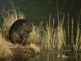 A Wet Beaver Sitting in a Clump of Grasses at the Waters Edge Photographic Print by Tim Laman