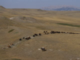 Cattle Drive in Montana Photographic Print by Annie Griffiths Belt