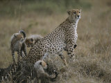 A Mother Cheetah Keeps Watch as Her Cubs Frolic Around Her Photographic Print by Roy Toft