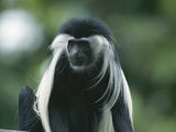 A Captive Black and White Colobus Monkey, Colobus Angolensis Photographic Print by Tim Laman