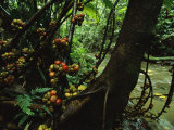 Fig Trees (Ficus Minahassae) Grow Along a Stream in a Rain Forest Photographic Print by Tim Laman