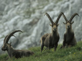 European Ibex Herd Photographic Print by Norbert Rosing