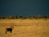 A Male African Lion Looks out over His Territory Photographic Print by Beverly Joubert