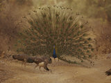 A Peacock Displays to a Group of Peahens Photographic Print by Jason Edwards