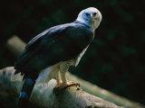 Harpy Eagle (Harpia Harpyja) Fotodruck von Joel Sartore