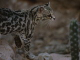 Close View of a Captive Ocelot in the San Pedro Valley Photographic Print by Annie Griffiths Belt