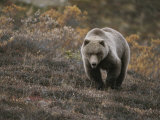A Grizzly Walks Toward the Camera with a Serious and Threatening Look Photographic Print by Michael S. Quinton