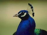 The head of a beautiful blue peacock, Pavo sp. Photographie par Joel Sartore