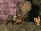 An American or Northern Lobster Near Sponges and Anemones Photographic Print by Brian J. Skerry