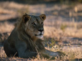 Sub-Adult Male African Lion Photographic Print by Nicole Duplaix