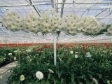 Lofty Conveyors Move Gerberas Through a Greenhouse Photographic Print by Sisse Brimberg