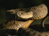 A Close View of a Coiled Prairie Rattlesnake Photographic Print by Chris Johns