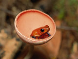 A Strawberry Poison Dart Frog Sits Inside a Mushroom Photographic Print by Roy Toft