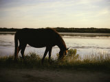 Chincoteague Pony Feeding on Marsh Grass Photographie par Al Petteway