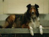 A Shetland Sheepdog on the Back Step of a Home in Lincoln, Nebraska Photographic Print by Joel Sartore