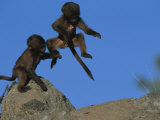 Two Playful Young Gelada Baboons Leap from a Rock Photographic Print by Michael Nichols
