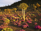 A Carpet of Pink Eberlanzia Surrounds a Spiky Kokerboom Tree Photographic Print by Jonathan Blair