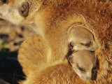 Two Meerkat Pups Sleep under the Arm of a Baby-Sitter Photographic Print by Mattias Klum