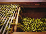 Olives Harvested and Readied for Transport to Palermo and Naples Photographic Print by Sisse Brimberg