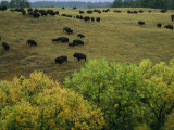 American Bison Graze on Gentle Hills Near Trees Displaying Autumn Foliage Photographic Print by Joel Sartore