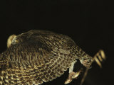 A Rare Blakistons Fish Owl in Flight with a Fish in its Talons Photographic Print by Tim Laman