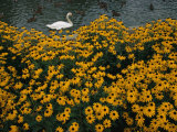 A Swan Swims Past a Beautiful Flower Bed Photographic Print by Raymond Gehman