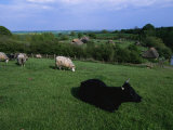 Pastoral Landscape with Cattle and Sheep Photographic Print by Sisse Brimberg