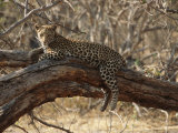 A Leopard, Panthera Pardus, Resting on a Large Tree Limb Photographic Print by Michael S. Lewis