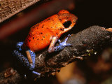 A Poison Arrow Frog Sits on Bark in the Rain Forest Photographic Print by Tim Laman