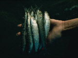 Hand Holding Sardines Photographic Print by Sam Abell