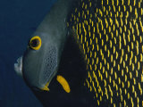 A Close View of a French Angelfish Photographic Print by Bill Curtsinger