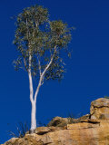 A View of a Eucalyptus Tree at the Top of a Cliff Photographic Print by Bill Ellzey