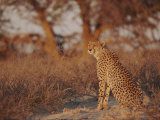 Cheetah Photographic Print by Nicole Duplaix